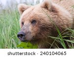 Brown Bear Peaking Out From...