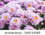 top view of pink chrysanthemum... | Shutterstock . vector #240114385