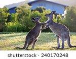 Kangaroos Pushing