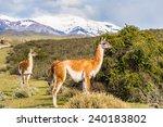 beautiful lama on a hill in... | Shutterstock . vector #240183802