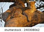 catching the sunset  okavango...   Shutterstock . vector #240308062