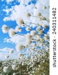 Flowering Cotton Grass On A...