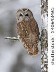 Brown Bird Tawny Owl Sitting O...