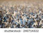 natural cotton bolls in the... | Shutterstock . vector #240714322