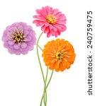 An Isolated Zinnia Flowers In...