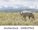 Coyote Walking Through A Field