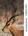 Small photo of Portrait of a Black-faced Impala (Aepyceros melampus petersi) in the Etosha National Park, Namibia