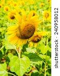 close up of beautiful sunflower ... | Shutterstock . vector #240958012