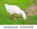 White Goose Grazing On Green...