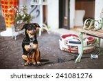 Dog Waits For A Master At The...