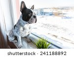 French Bulldog Looking Through...
