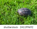Baby Turtles On Green Grass