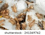 Crickets As Live Food For...