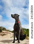 A Blue Great Dane Dog On The...