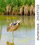 Small photo of An American Bittern hunts for fish on a swampy marsh in Colorado