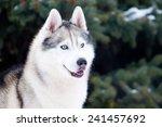 Portrait Of Siberian Husky In...