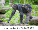 Common Chimpanzee With Her...