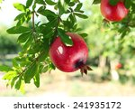 red ripe pomegranates on the... | Shutterstock . vector #241935172