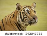 adult indochinese tiger ...   Shutterstock . vector #242043736