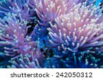 clownfish shelters in its host... | Shutterstock . vector #242050312