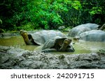 Stock photo galapagos turtles swimming in a lagoon in san cristobal galapagos ecuador 242091715