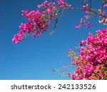 Pink Bougainvillea Flowers...