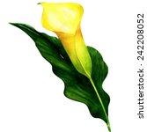 Beautiful Yellow Calla Isolate...