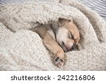 Stock photo tiny puppy sleeping in bed wrapped in wool sweater 242216806