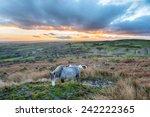 moorland ponies grazing on...