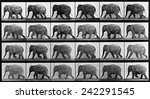 Consecutive images of an elephant walking. From Eadweard Muybridge