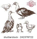 Breeding Ducks. Set Of Vector...