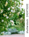 Stock photo yellow and white rose flowers 242473102