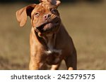 Stock photo very funny puppy bordeaux mastiff 242579575