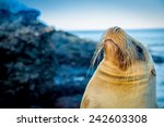 Closeup Portrait Of Sea Lion\'s...