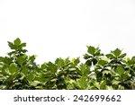 Breadfruit Leaf Isolated