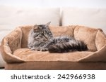 Stock photo cute cat is lying in his cat bed 242966938