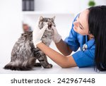 Stock photo veterinary clinic cute cat during examination by a veterinarian 242967448