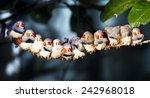 twelve zebra finch sitting on a ... | Shutterstock . vector #242968018