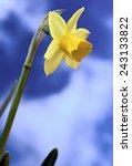 spring flowers narcissus   Shutterstock . vector #243133822