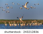 white pelicans  pelecanus...   Shutterstock . vector #243212836