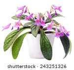 Small photo of Chirita Stardust in pot isolated on the white background. Plant of family gesneriaceae.