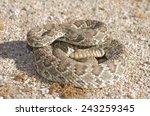 A Mojave Green Rattlesnake ...