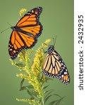 Two Monarch Butterflies Frolic...