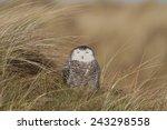 Snowy Owl   Sneeuwuil