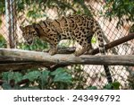 Clouded Leopard On Tree Branch
