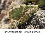 cactus type of spiny succulent... | Shutterstock . vector #243514936