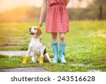 Stock photo young woman in dress and turquoise wellies walk her beagle dog in a park 243516628