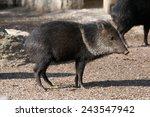 collared peccary  pecari tajacu ... | Shutterstock . vector #243547942