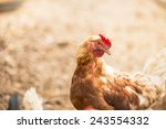 Hens In A Free Range Farm. Thi...