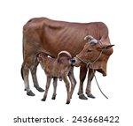 Cow Calf  Calf Sucking Mother...